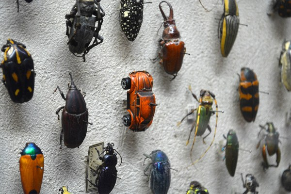 Vw Beetle Spotted In Insect Collection