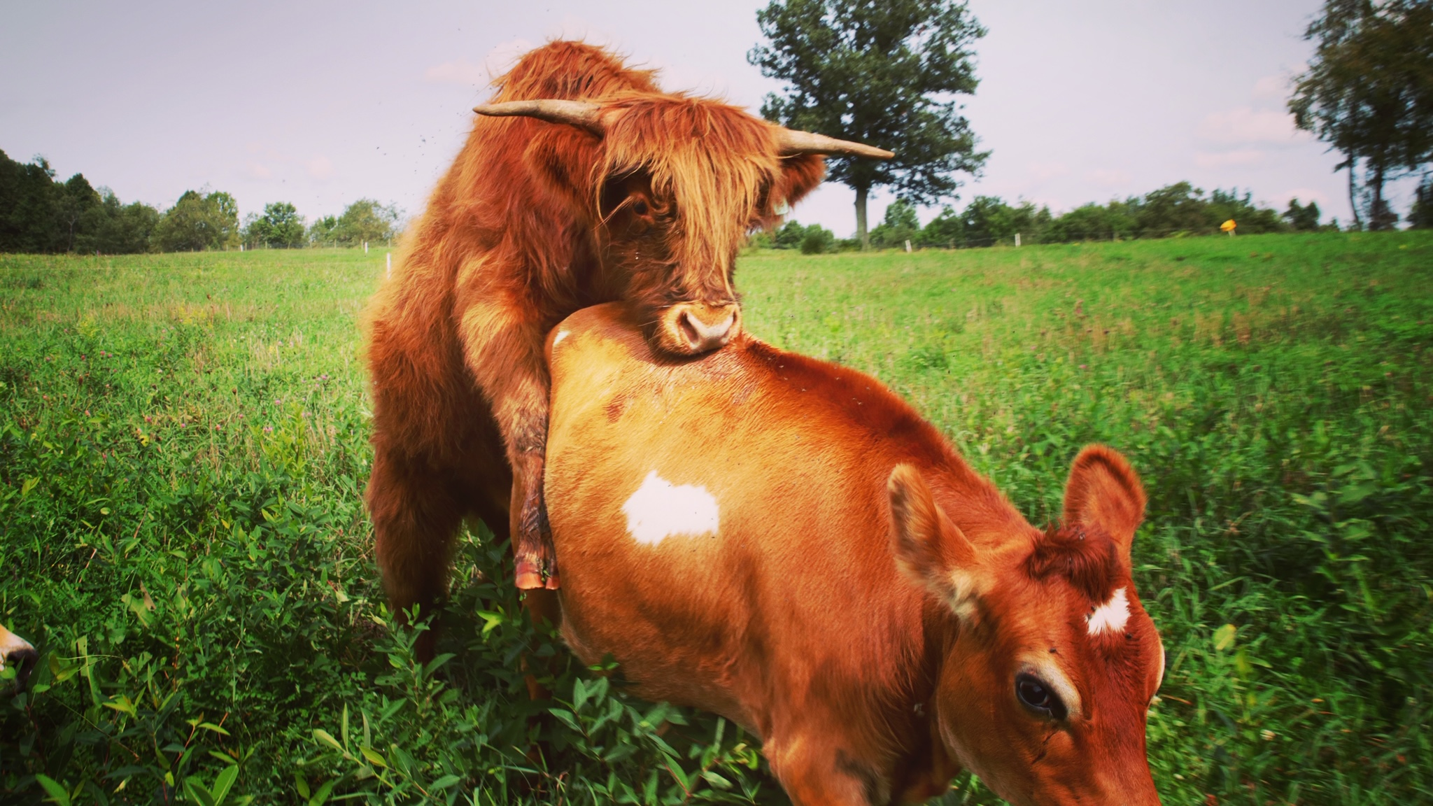 Why Are We Cross Breeding Cows