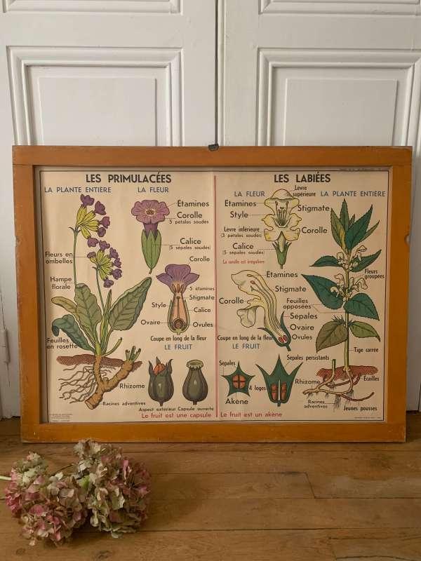 ancienne affiche scolaire botanique md