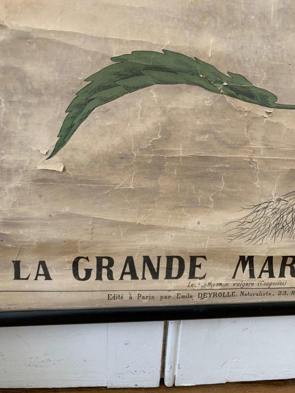 ancienne affiche botanique deyrolle la marguerite 19ème