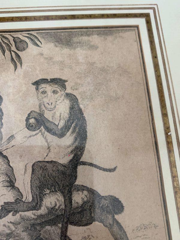 anciennes gravures de singes xviiieme