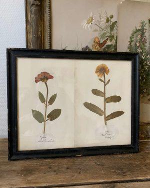 Ancien herbier vers 1900