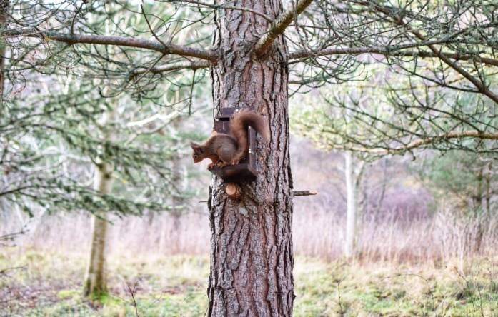 Red squirrel, Rothiemurchas, Cairngorms National Park