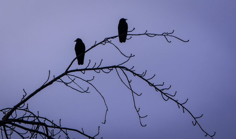Paired Crows at the University of Washington - Seattle
