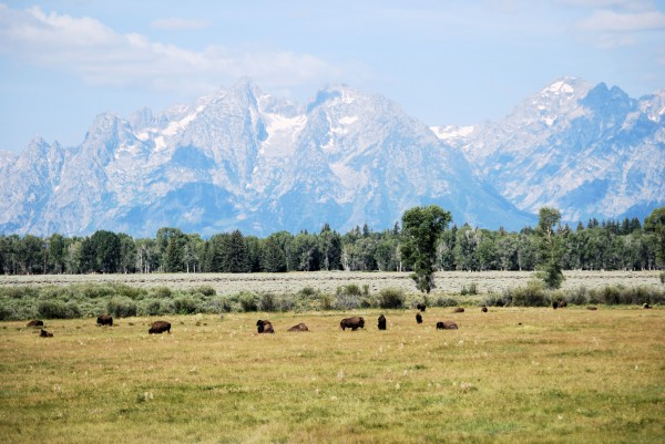 Buffalo in front of Grand Tetons