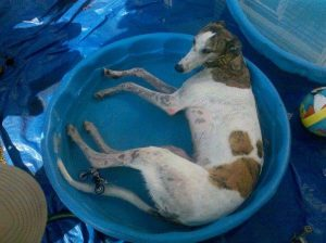 greyhound in pool