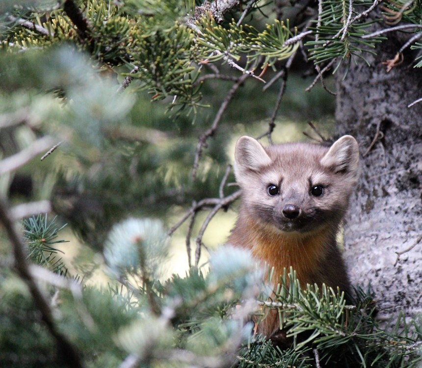 Timmy the Pine Marten