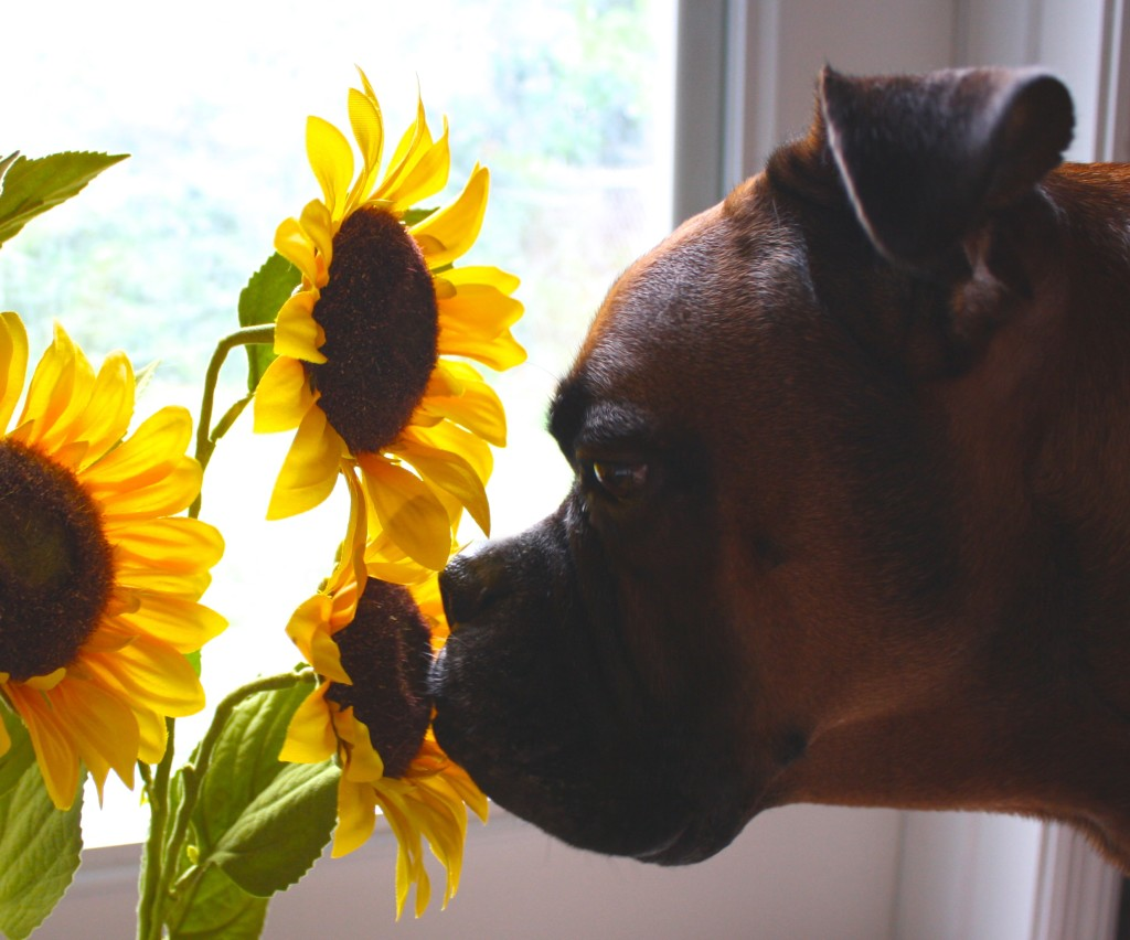 jack sniffing sunflowers