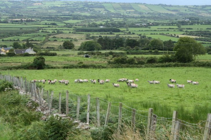 irish sheep and landscape