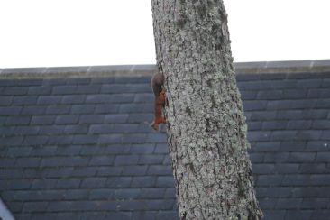 Red Squirrel seen from our dining room