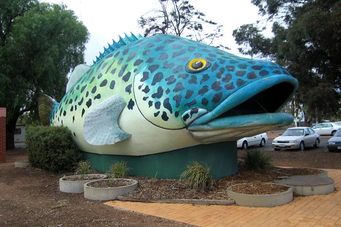 giant murray cod