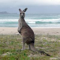 Crowdy Bay Kangaroo