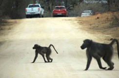 Baboons on the road in Kruger National Park, South Africa 2016