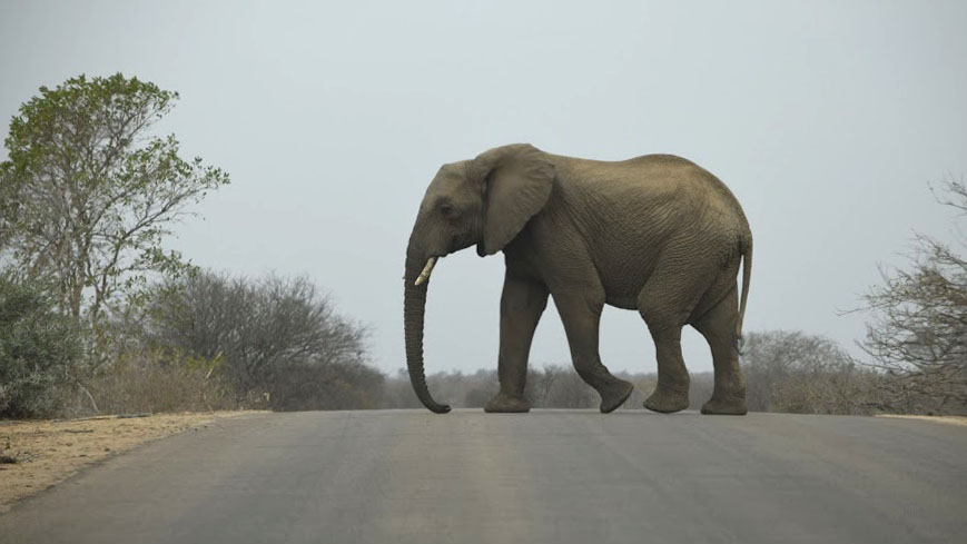 Elephant strolling across the road in Kruger National Park, South Africa 2016