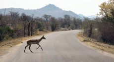 Impala on the road in Kruger National Park, South Africa 2016