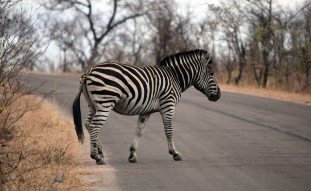Zebra on the road in Kruger National Park, South Africa 2016