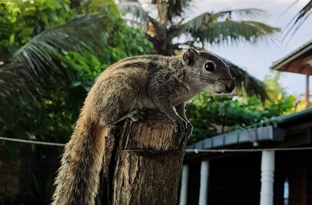 squirrel in Sri Lanka