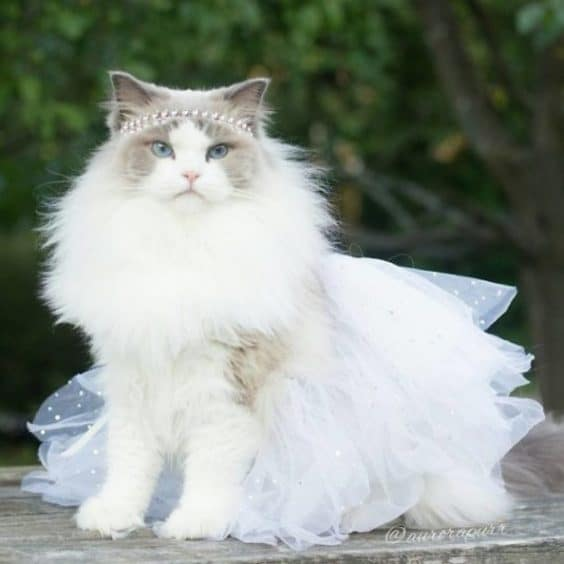 Princess Aurora Cat Breed