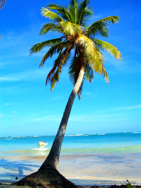 Palm tree on the Samana Peninsula, Dominican Republic