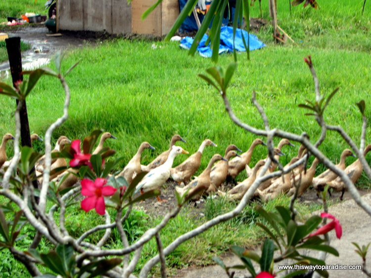 Ducks in Ubud, Bali rice field