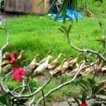 Ducks in Ubud, Bali rice field