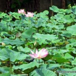 Lotus pond in Penestanan, Ubud