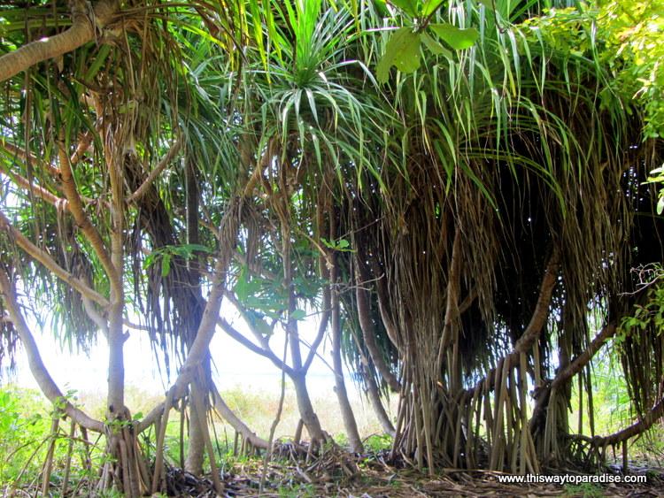 Banyan trees on Gii Air