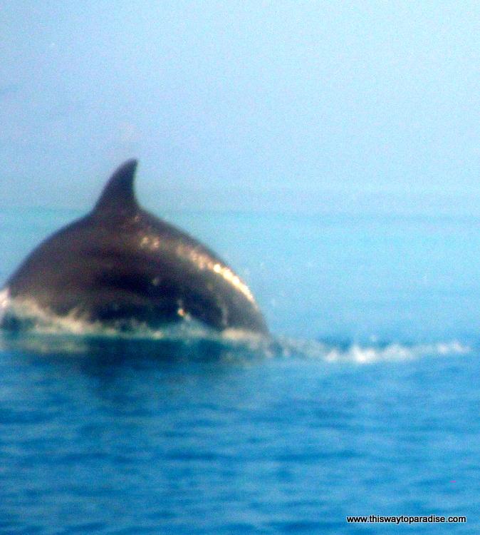 Dolphin off Kai Island