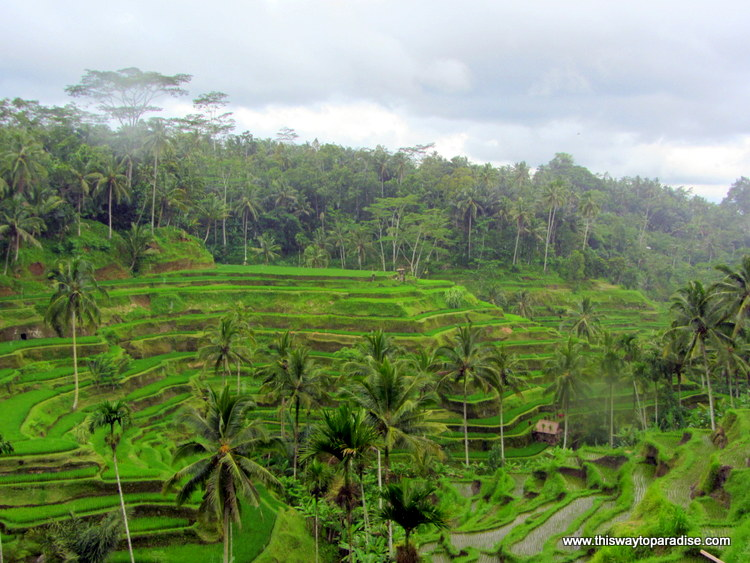 Terraced rice fields of Sidemon, Ubud, Bali