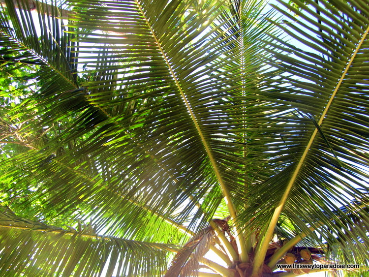 Palm tree on Kei Islands