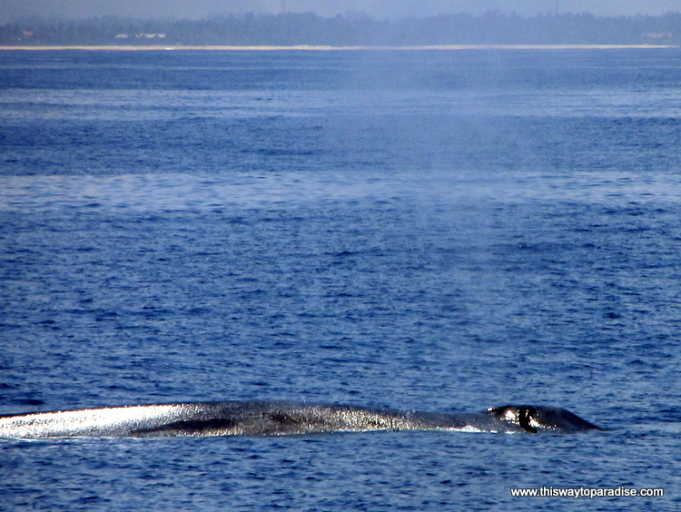 Blue whales Mirissa, Sri Lanka