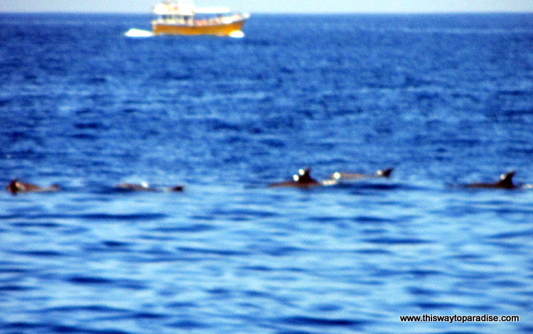 Bottlenose dolphins on whale watching trip in Sri Lanka