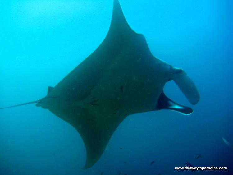 Raja Ampat manta ray