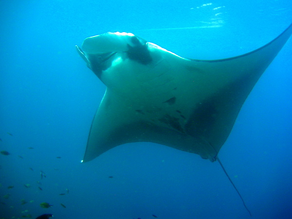 best snorkeling Manta ray seen while diving in Raja Ampat