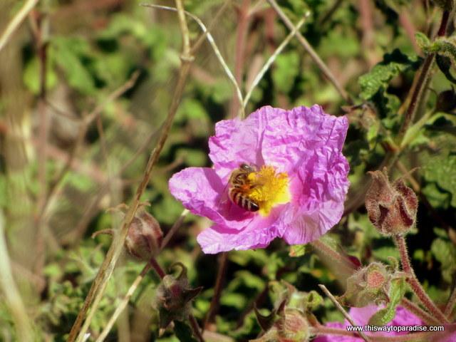 bees at Agii Apostoli beach