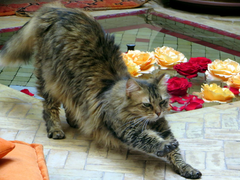 Riad Boussa Marrakesh cat