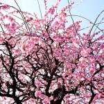 Sponsored Post: The Best Things To Do In Spring In Tokyo