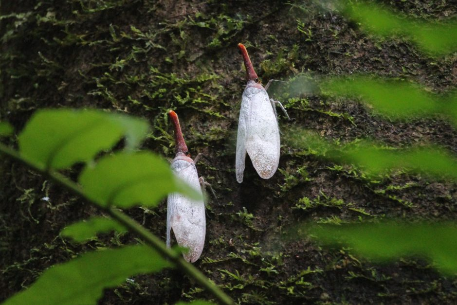 Lantern bugs in Mulu National Park