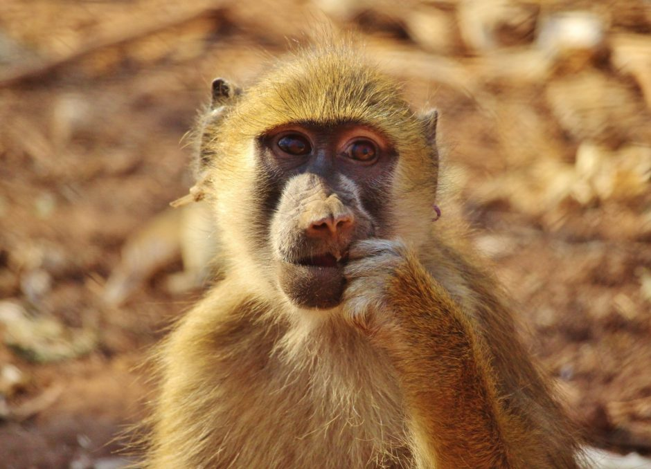 Syren the yellow baboon, Malawi