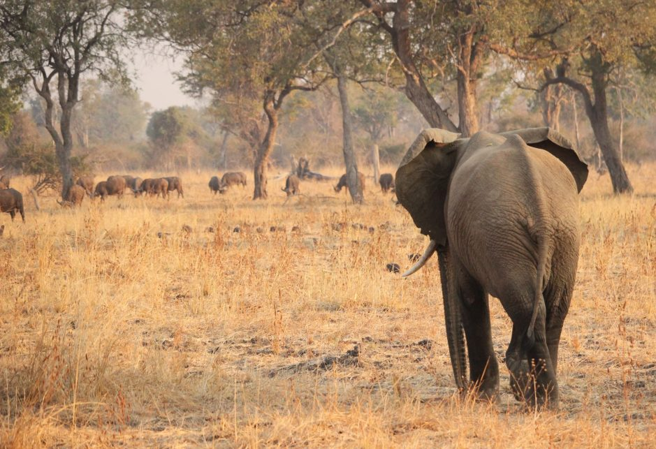 An elephant and buffalo in Zambia