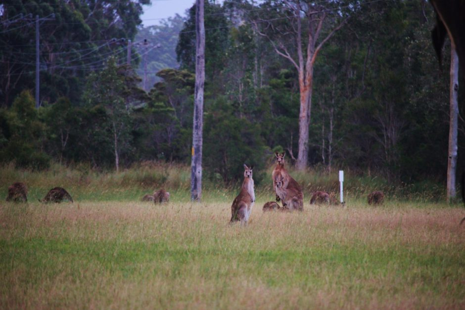 Kangaroos grazing in a field, Australia