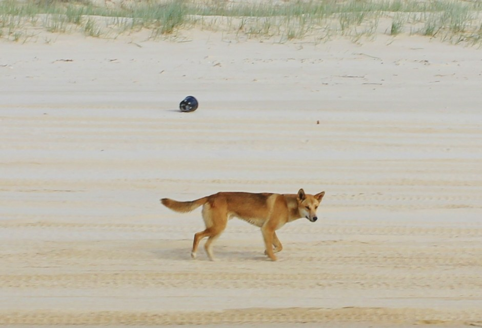 A dingo walking along a beach, Fraser Island, Australia