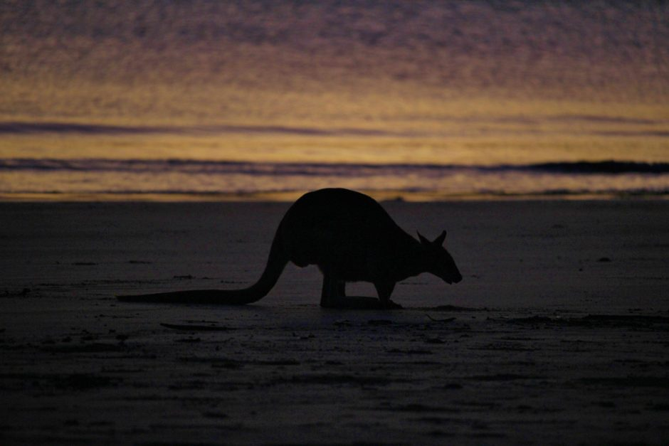 A kangaroo feeds on the beach at dawn in Cape Hillsborough, Australia