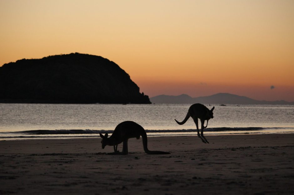 Kangaroos on the beach at dawn in Cape Hillsborough, Australia