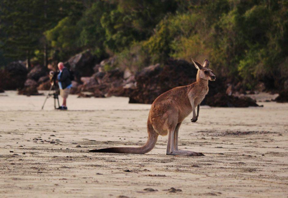 Kangaroos on the beach at Cape Hillsborough, Australia