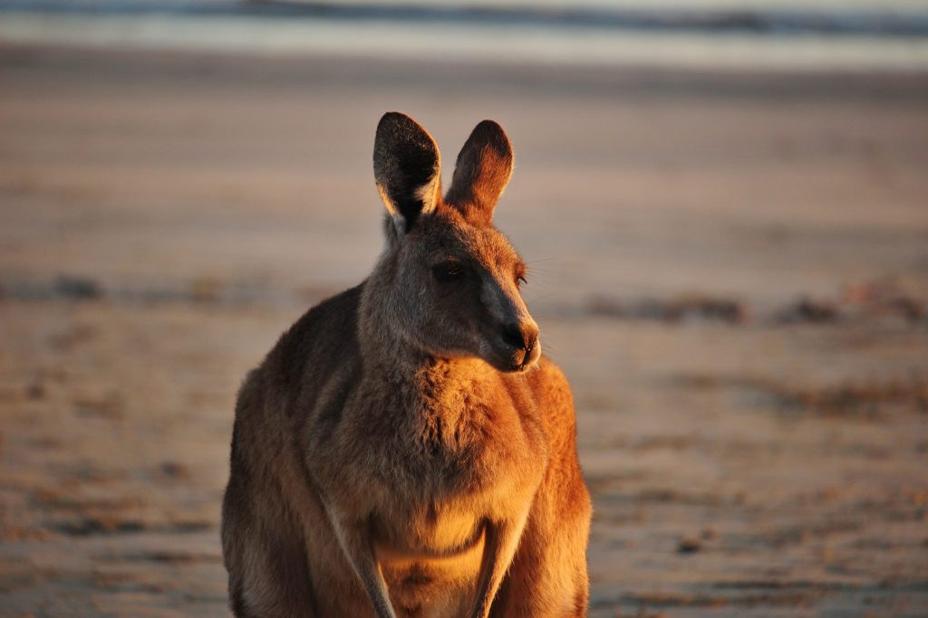 Kangaroo at dawn in Cape Hillsborough, Australia
