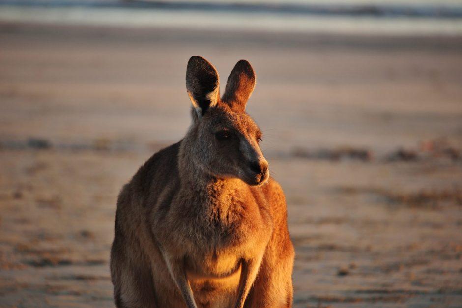 Kangaroo at dawn in Cape Hillsborough, Australia