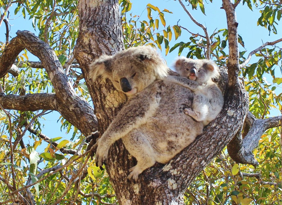 A koala and baby in a tree, Magnetic Island, Australia