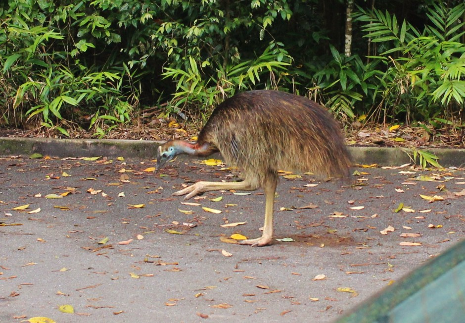 A young cassowary in Australia