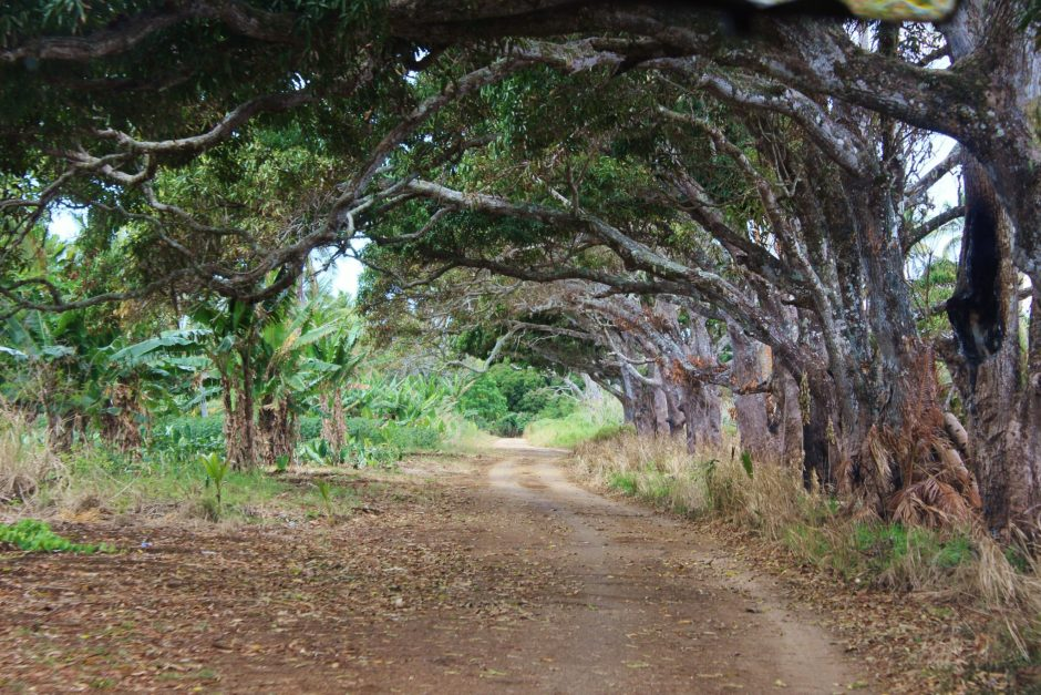 A tunnel of trees over a dirt road in Tonga